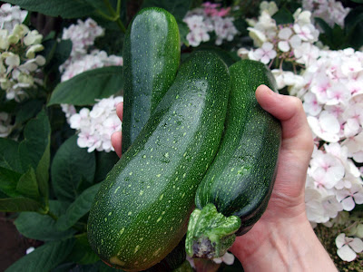 Courgettes growing garden uk