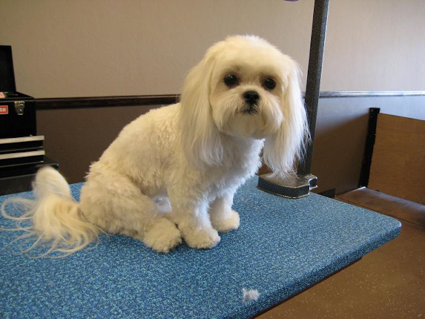 dog hair cuts hairstyle