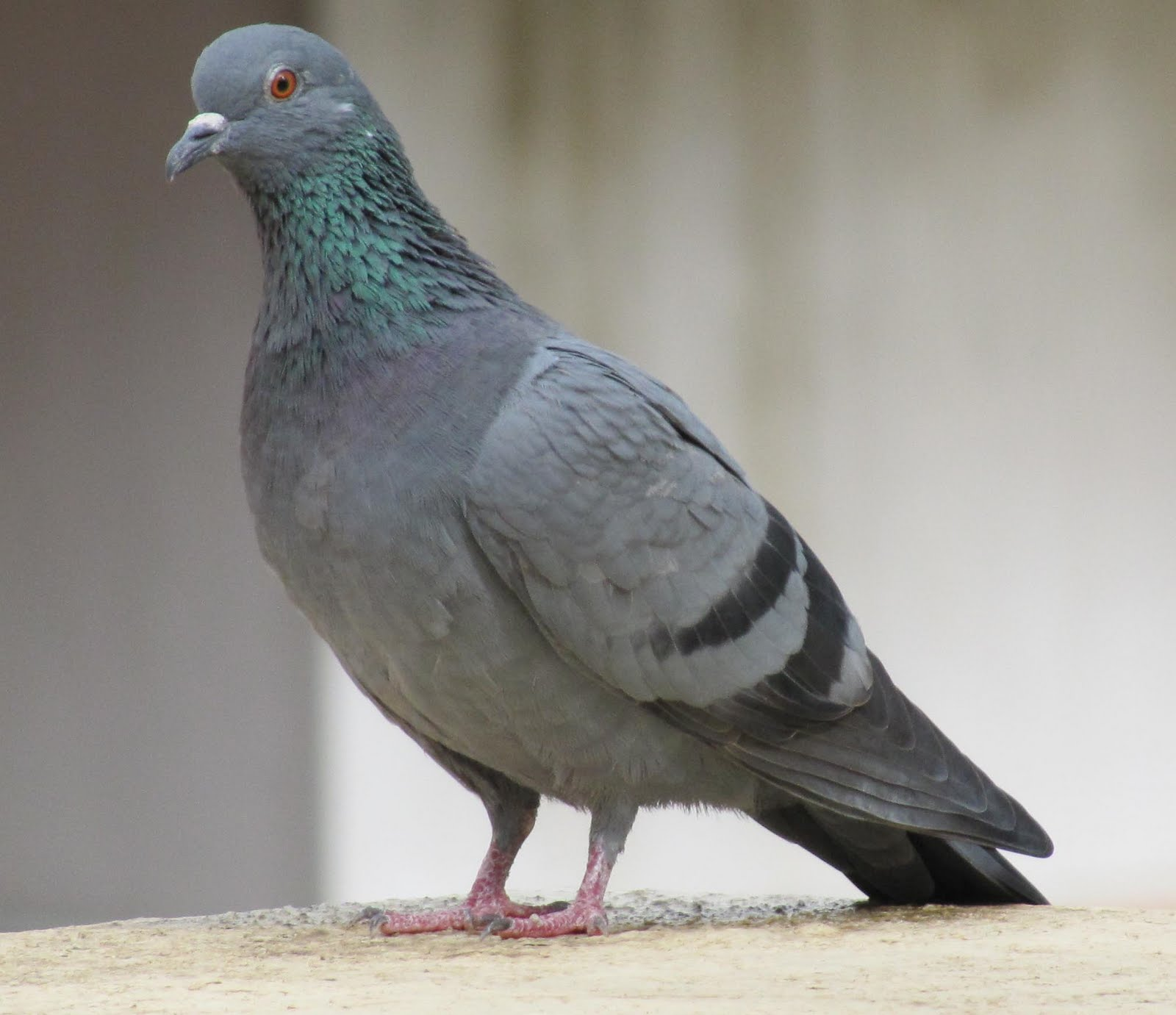 pigeon essay kids animal class birds pigeon pigeon are domestic kids kids album rhymes baby s articles learning centre animals gallery astrology vedic astrology