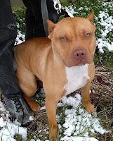 Red American Bulldog