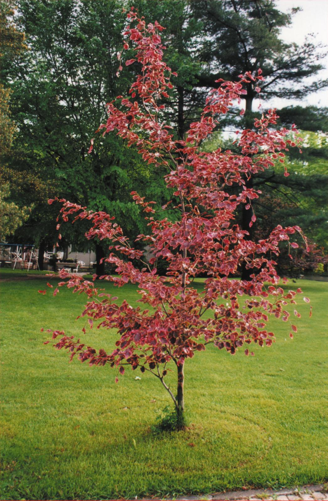 Fagus sylvatica tricolor beech