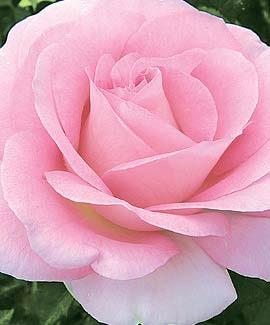 Planting Bareroot Roses