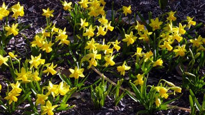 Tete-a-tete miniature daffodils