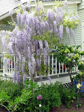 Taming Wisteria