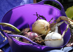 Leslie's onions