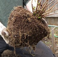 After root-pruning