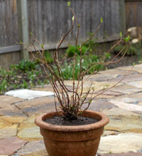 A hydrangea, root-pruned and repotted