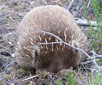 Echidna, South Cape Bay track - 26th Jan 2007