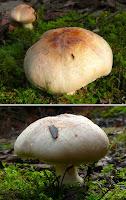 Fungi, Mountain River Trail, Wellington Range, Tasmania - 17 May 2007