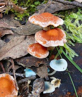 Fungus, Mt Wellington, Tasmania - 15 March 2007
