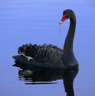 Black Swan, Cygnus atratus, Franklin Tas. - 21 July 2007