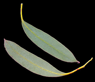 Tasmanian Snow Gum leaves, Eucalyptus coccifera