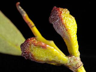 Buds of Eucalyptus coccifera