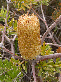 Banksia marginata, Cresecent Bay Track - 3rd January 2009