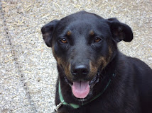 Max  Lab/Shepherd Mix~ St Clairsville, OH~ Adopted 2-5-11