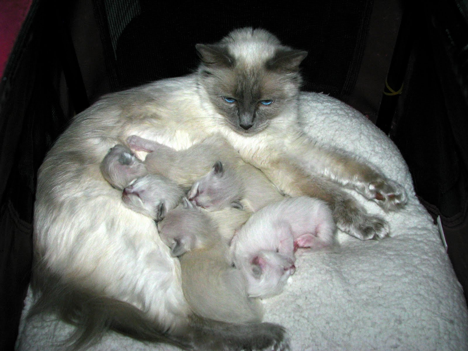Traditional Balinese Cat Traditional siamese
