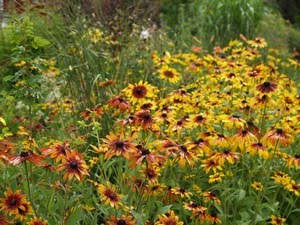 Rudbeckia - gul solhatt