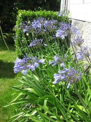 Agapanthus praecox - skjermlilje