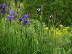 Iris sibirica - sibiriris