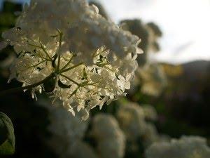 Hydrangea arborescens 'Annabell' - vierhortensia