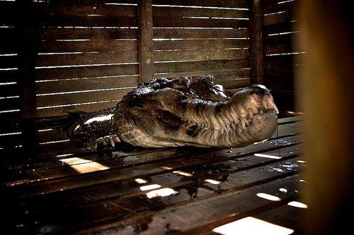 [croc3]