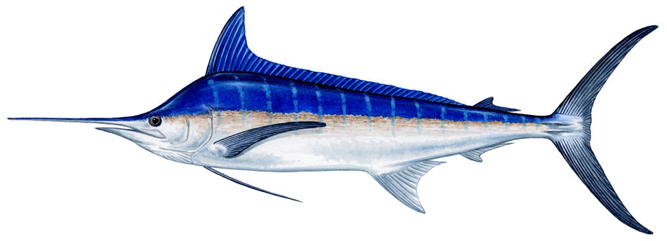 national geographics blue marlin fish