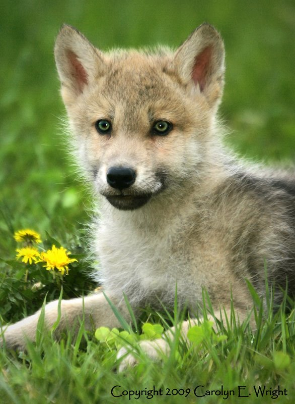 Unnamed mother and pups (All taken) Wolf-Pup-Portrait-with-Flowers-793421%5B1%5D