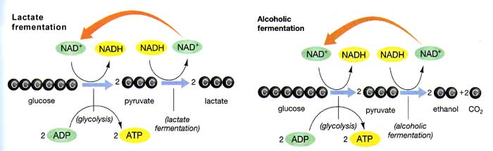 Fermentation and Aerobic Respiration - Notes for Pakistan