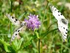 ヴェルコール地方の蝶
