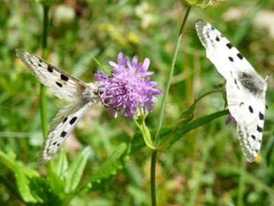 ヴェルコールの蝶
