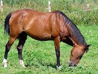 サン=レミ=レ=シュヴルーズの馬