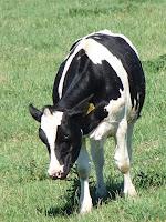 ヴィルタン収穫農園の牛