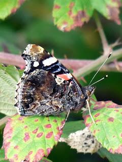 カルネルの森の蝶