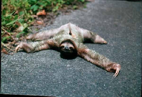 a sloth running