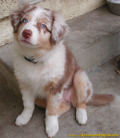 Australian Shepherd Dog | Dogs Breed