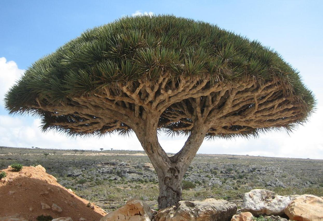 [Image: Socotra_dragon_tree.JPG%22]