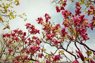 Kiev Botanical Garden Magnolia