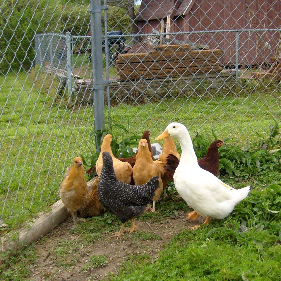 [Chickens.jpg]