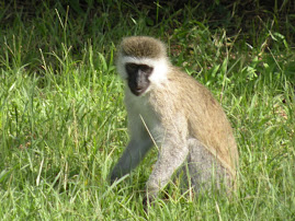Mara Monkey
