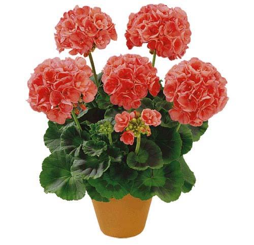 flori de apartamentingrijire muscate