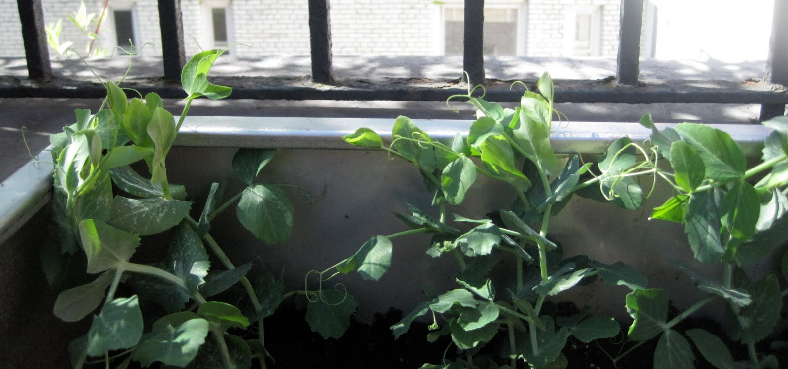 Garden bytes from the big apple herbs make you happy and pak choi doesn 39 t hurt - Tips planting herbs lovage parsley dill ...