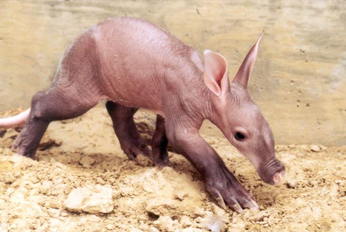6-week-old-baby-aardvark.jpg