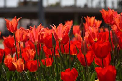 チューリップ(Tulipa),チューリップまつり,なばなの里