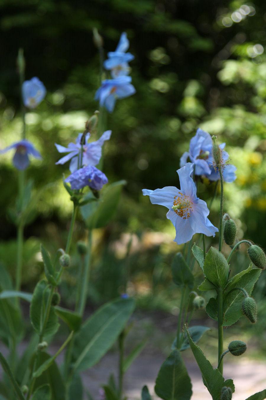 ヒマラヤの青いケシ,メコノプシス(Meconopsis),花フェスタ記念公園