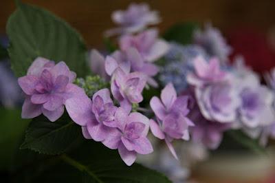 ガクアジサイ(Hydrangea macrophylla),あじさい・花しょうぶまつり,なばなの里