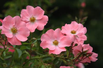 バラ(Rosa),バラまつり,なばなの里