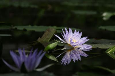 熱帯性スイレン,スイレンプール,掛川花鳥園