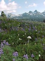 Mt Rainier meadow