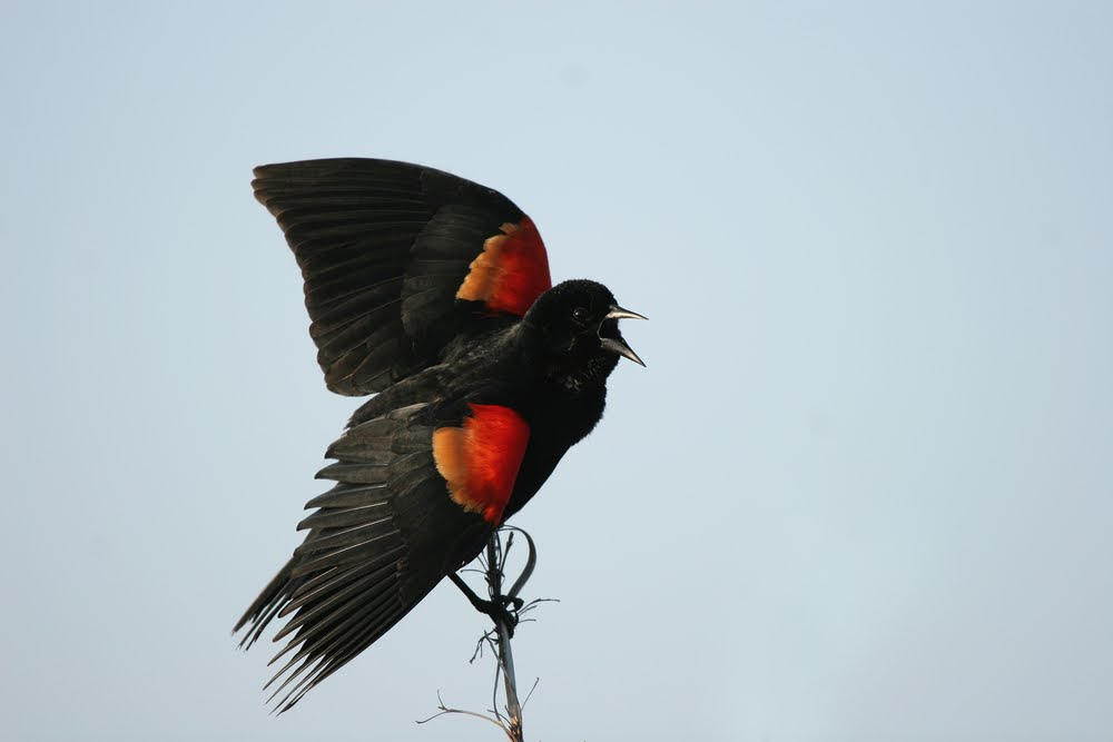 blackbirds in kentucky