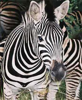 معلومات عن الحمار الوحشي zebra-picture1220629